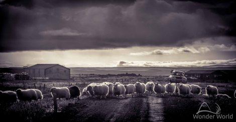 Ovelhas cruzando o nosso caminho